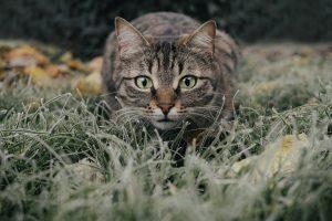 cat, tabby, field
