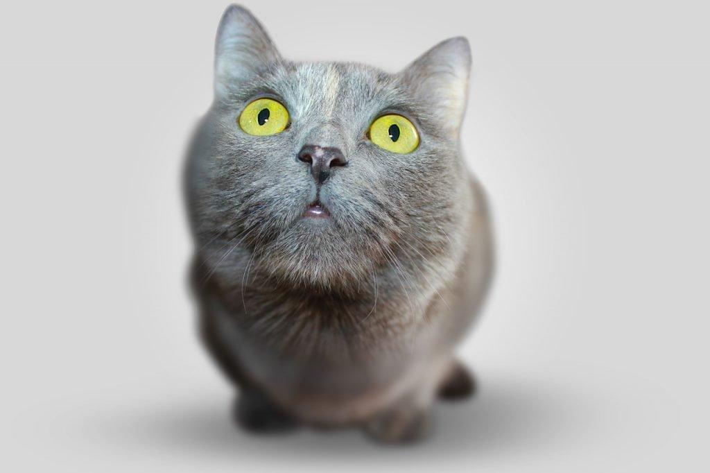 cat, animal, eyes