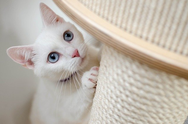 tiragfaffi gatto
